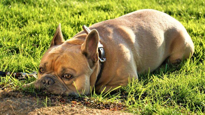 Pourquoi les chiens mangent de l'herbe