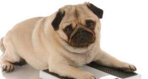 Comment faire perdre du poids à votre chien