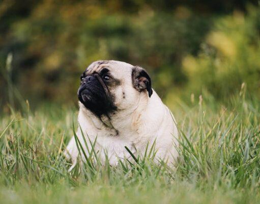 Perte poids chien