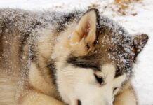 Protéger votre chien contre le froid