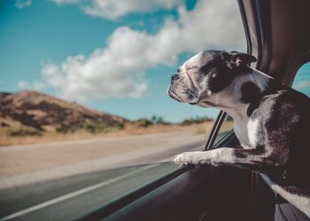 Mal des transports chez le chien