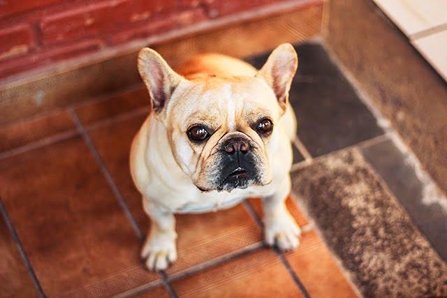 Bouledogue Français chien de petite taille