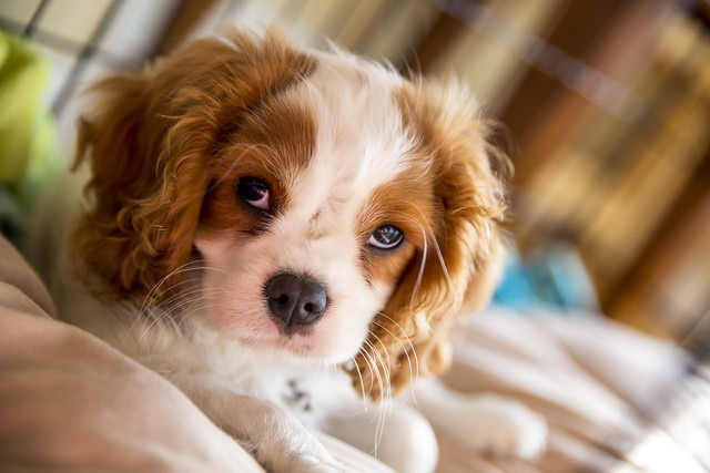 Cavalier King Charles chien petite taille