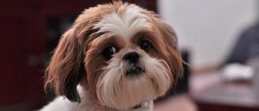 Shih Tzu, Top 10 des races de chien de petite taille