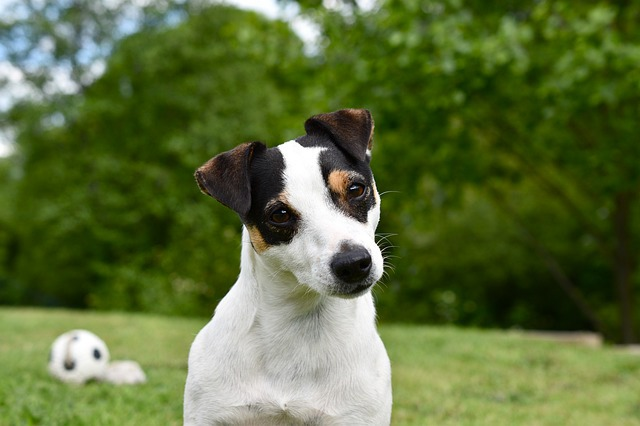 Jack Russel chien de chasse anglais