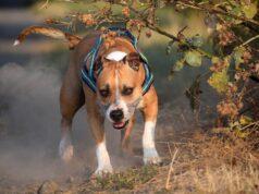 Chien de catégorie loi chiens dangereux