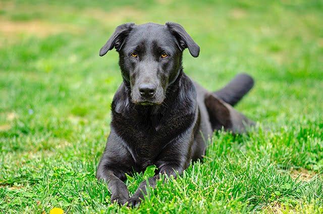Chien intelligent Labrador Retriever