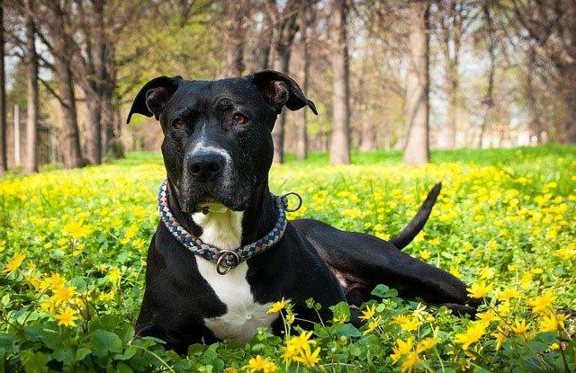 American Staffordshire terrier top chien moyen