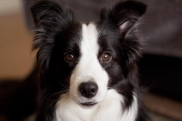 Border Collie chien moyen