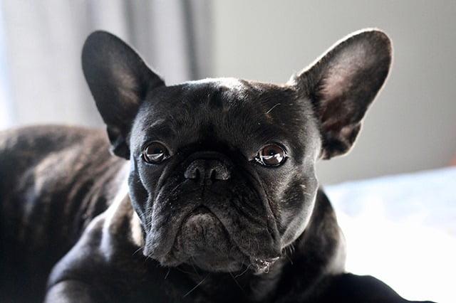 Top chien moyen Bouledogue français