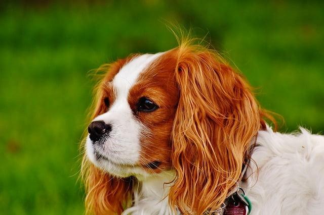 Cavalier King Charles top 10 chien moyen