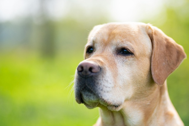Labrador top chien moyen
