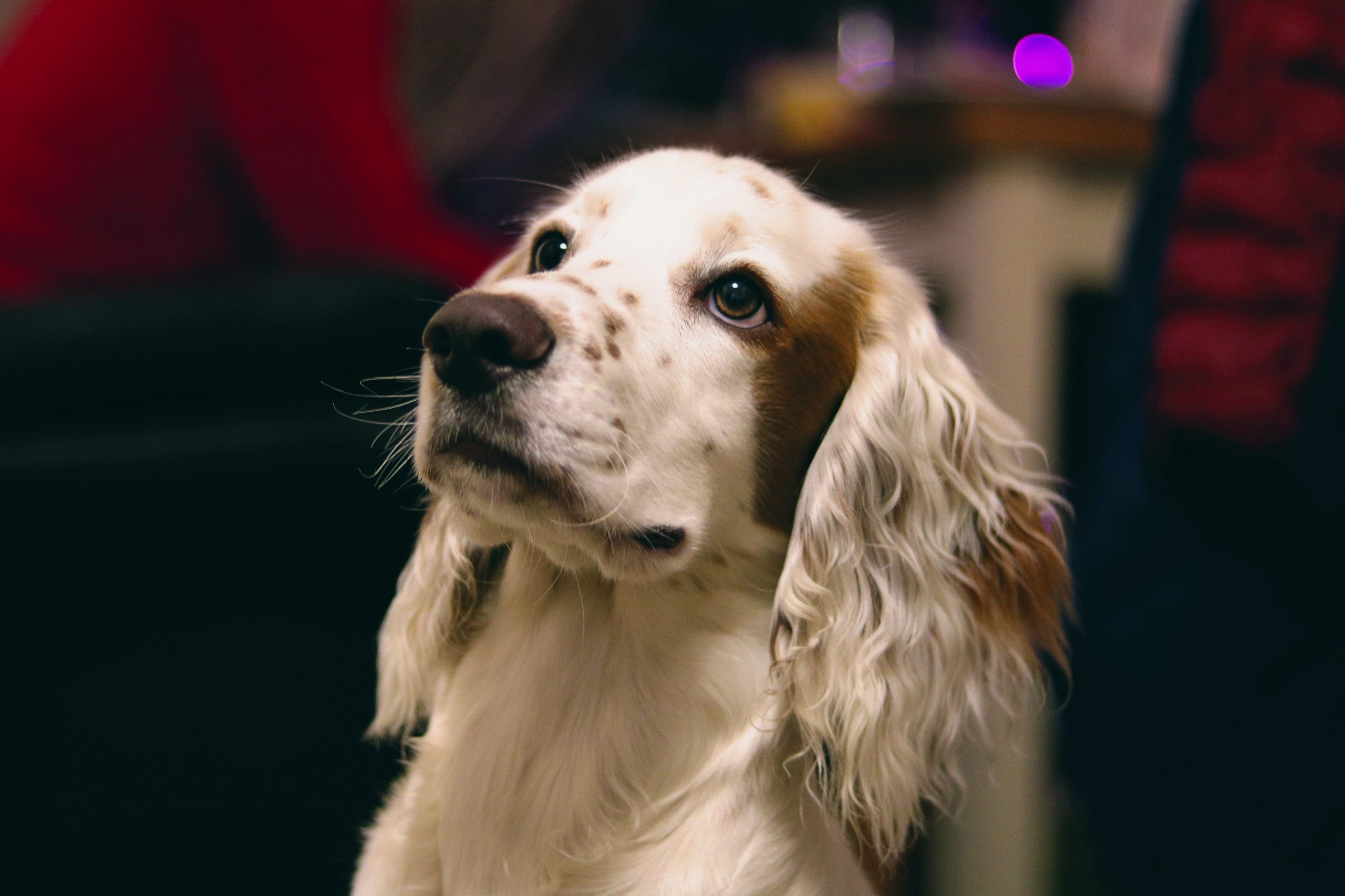 Cocker anglais top chien moyen
