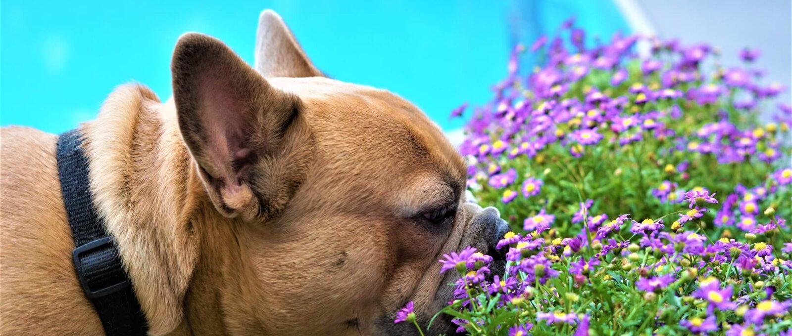 Plantes toxiques pour les chiens