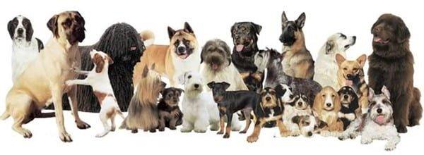 Race ou croisements de votre (vos) chiens ?  Lots_of_dogs
