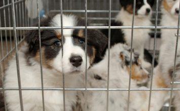 La ville de San Diego interdit la vente de chiens en animalerie