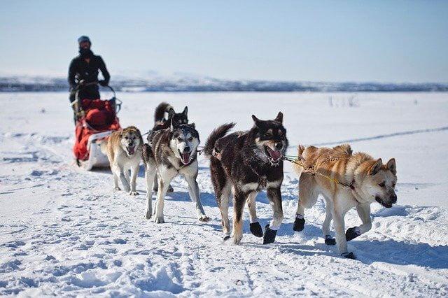 Equipement chien de traineau