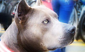 Un Pit Bull élu héros canin de l'année 2013 aux États-Unis