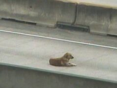 Chienne blesee autoroute Houston