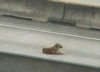 Chienne blesee autoroute Houston