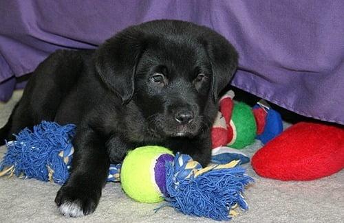 désordre jouets chien