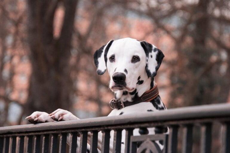 Médecine parallèle pour les chiens