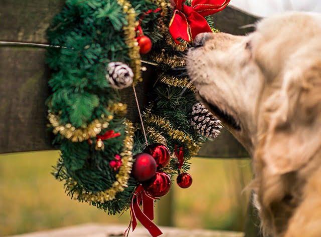 Dangers plantes décoratives Noël chiens