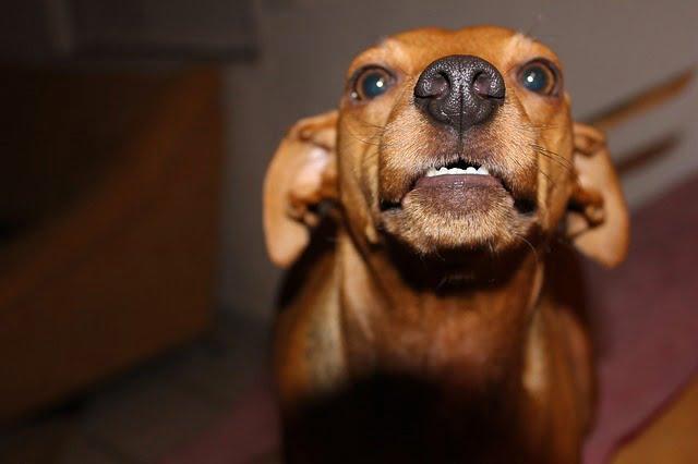 Le chien peut se montrer agressif en cas de douleur