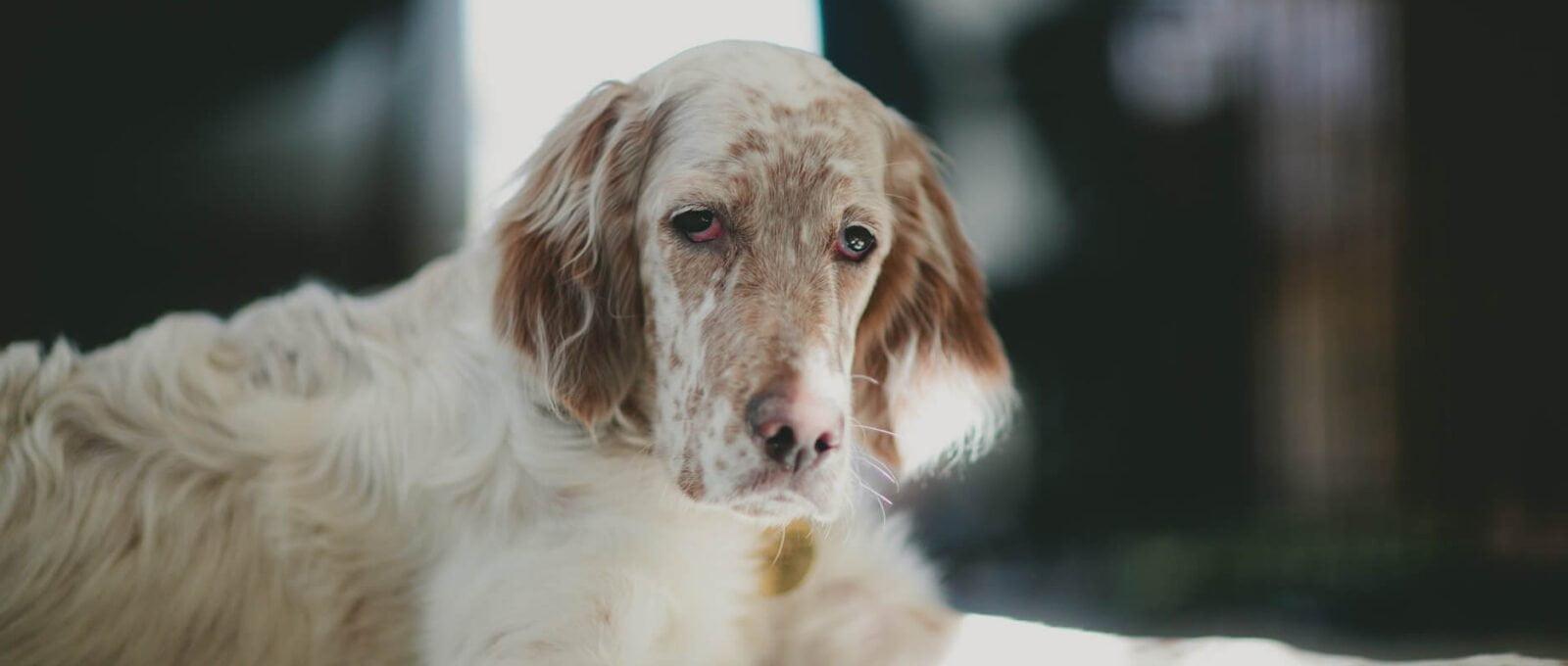 Les signes de douleur chez le chien