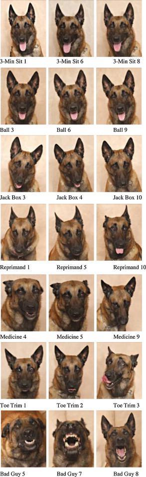 Décryptage des expressions faciales du chien : Mal,un cas decole