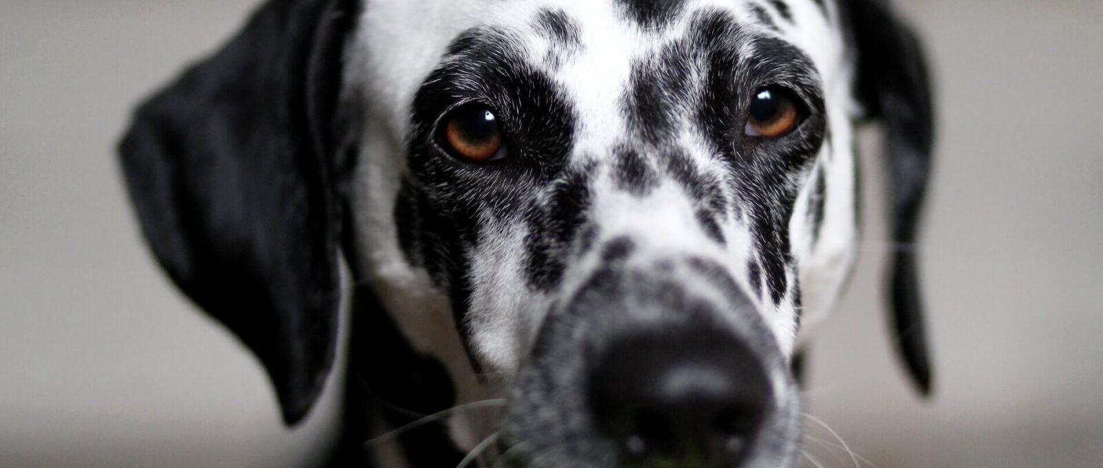 6 causes de décès accidentels chez le chien et comment les prévenir
