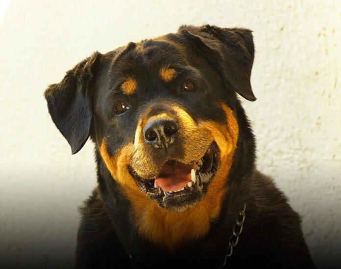 Rottweiler sauve famille cambriolage