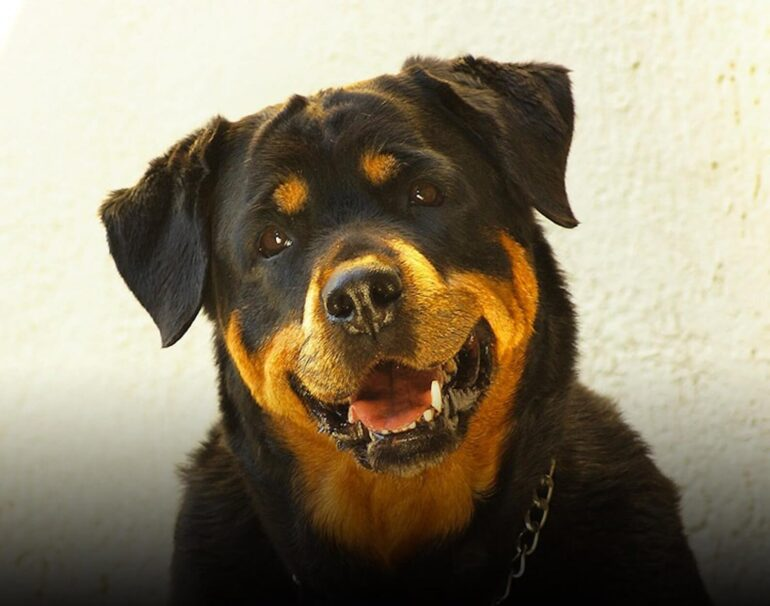 Rottweiler sauve famille cambriolage