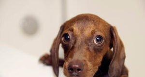 Gale du chien causes, symptômes et traitements