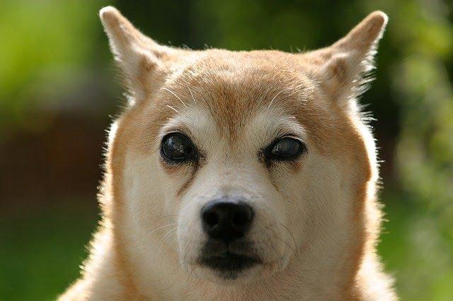 Un vieux chien aveugle