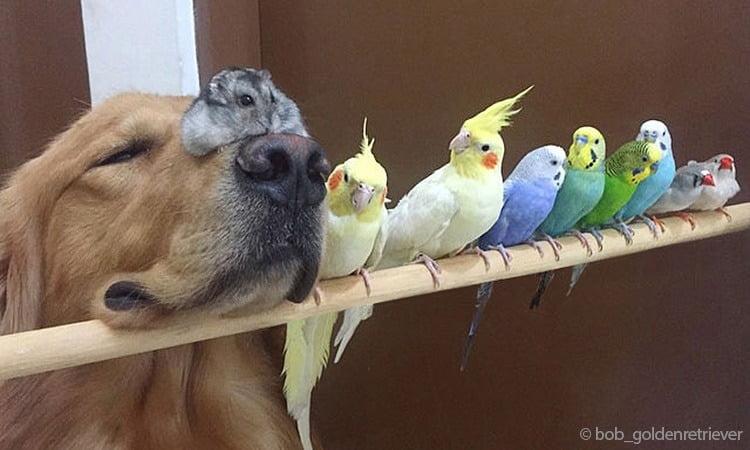 Photos - l'amitié touchante entre un Golden Retriever 8 oiseaux et un hamster