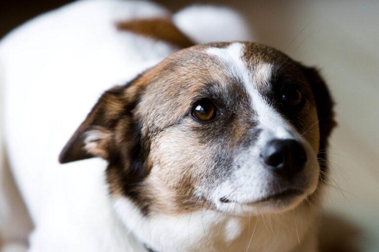 Grossesse nerveuse chez la chienne : aidez-là à s'en sortir !