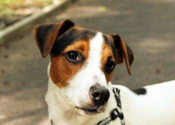 5 idées reçues sur les petits chiens