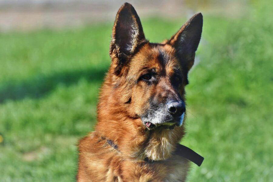 7 raisons d'adopter un chien âgé