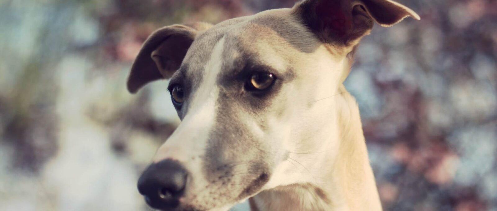 Galgos chiens martyrs