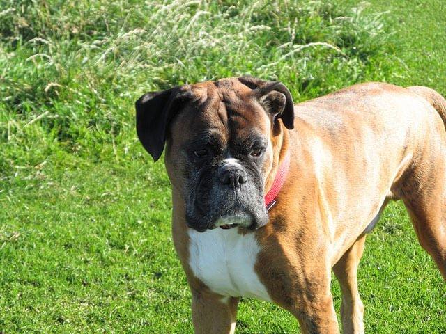 Boxer top 10 chien de garde