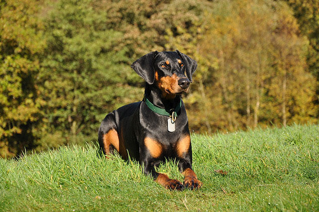 Dobermann top 10 chien de garde