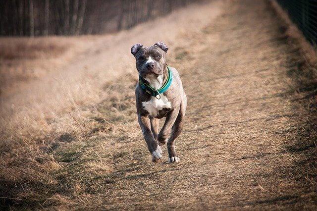 American Staffordshire terrier top 10 chien de garde