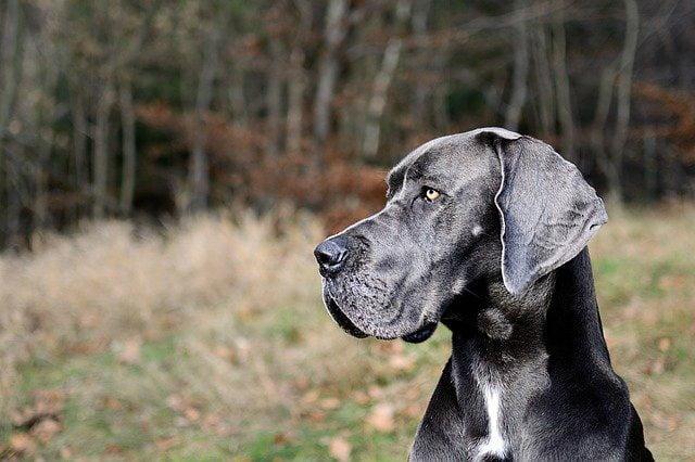 Dogue Allemand top 10 chien de garde