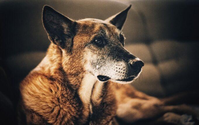Cancer chez le chien signes