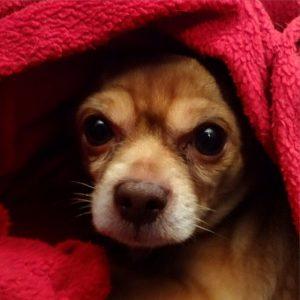 hypothermie chien