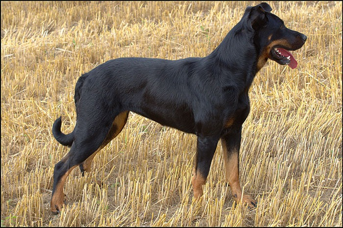 Beauceron top berger