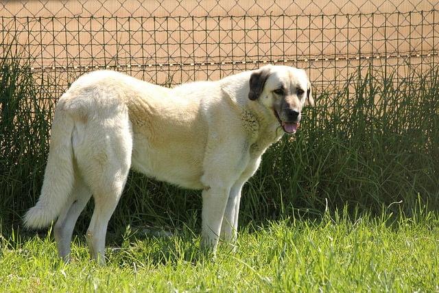 Berger Antolie top 10 grand chien