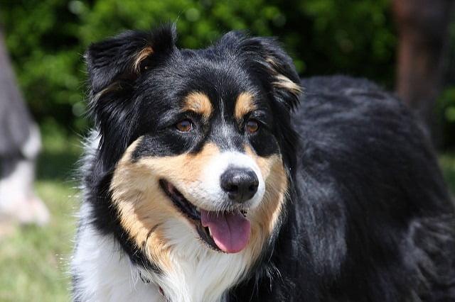 Berger Australine top chien de berger