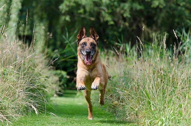 Berger Belge top chien de berger